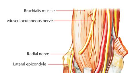 Easy Notes On 【Brachialis Muscle】Learn in Just 4 Minutes