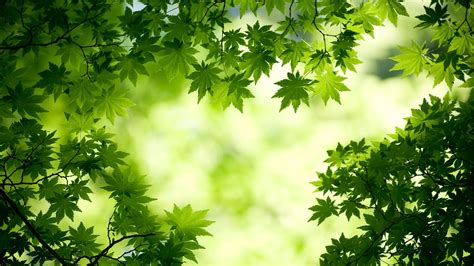 Green Maple Leaves Wallpapers   HD Wallpapers   ID #11787