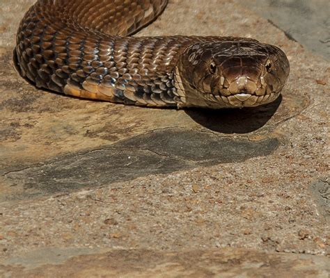 Snakes: Snakes In South Africa