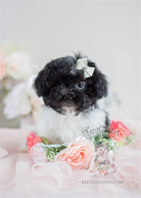 Havanese Puppies For Sale in South Florida | Teacups