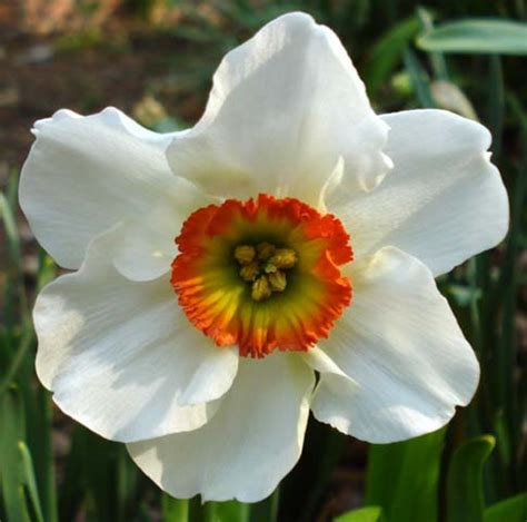 Pacific Bulb Society | Narcissus Division Nine