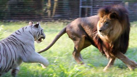 Big Cats in Slow Mo - YouTube