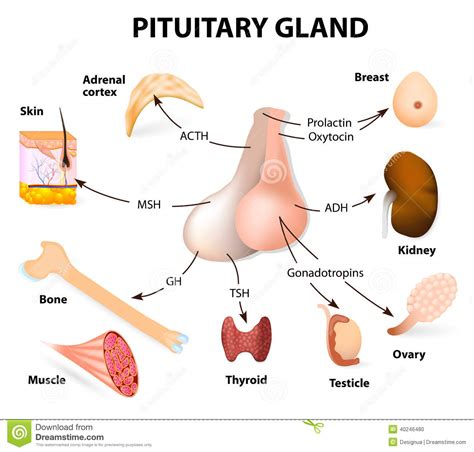 Summary Hormones Secreted From The Pituitary Gland Stock