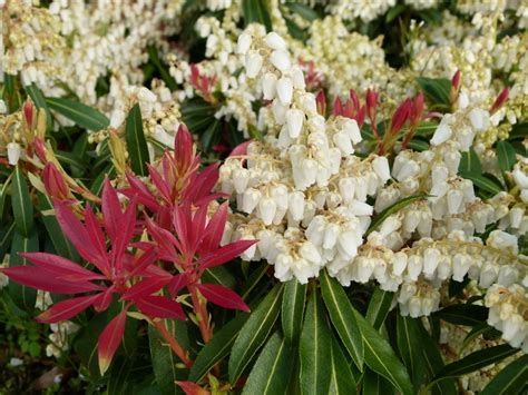Pieris 'Forest Flame' - Plant ID @ HCP