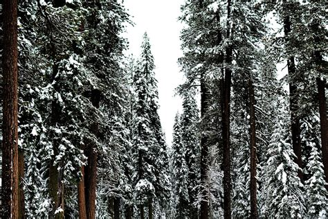 Free picture: wood, tree, snow, pine, winter, frost, forest