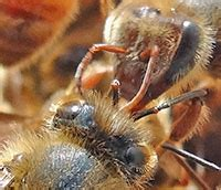 How Bees Communicate | Ask A Biologist